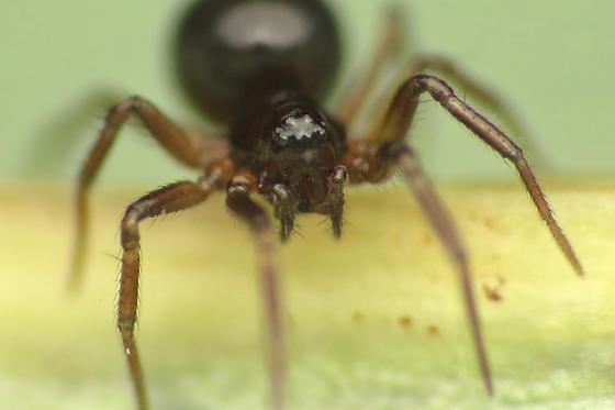 Adult female - Tachygyna vancouverana - female
