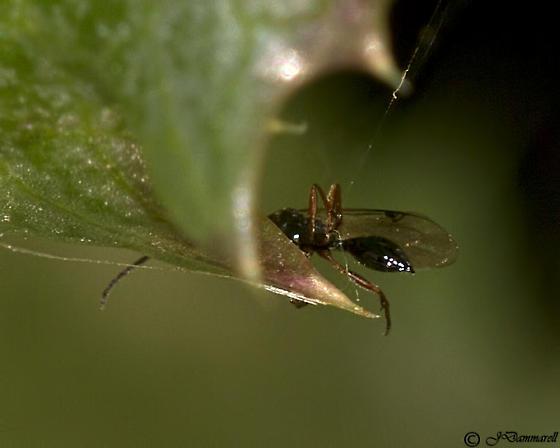 Tiny Wasp - Exallonyx