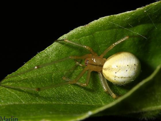 Big Fat Spider - Enoplognatha ovata - female