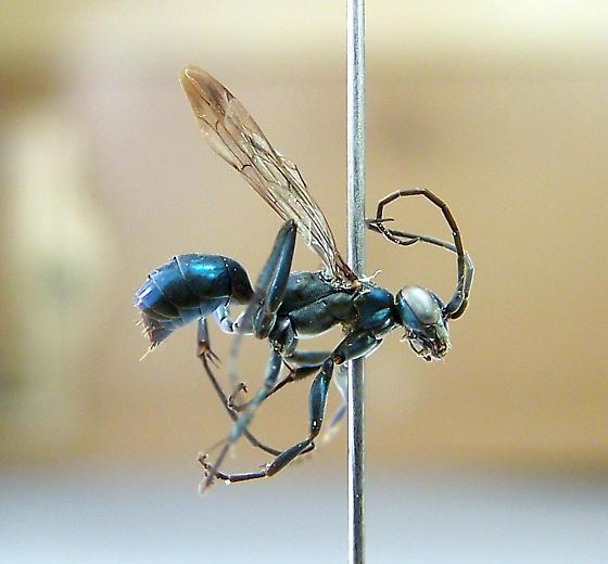 Ageniella cupida - female