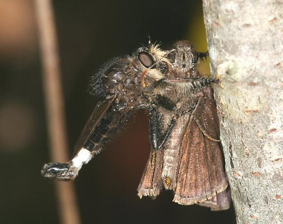 P pogon - Efferia pogonias - male