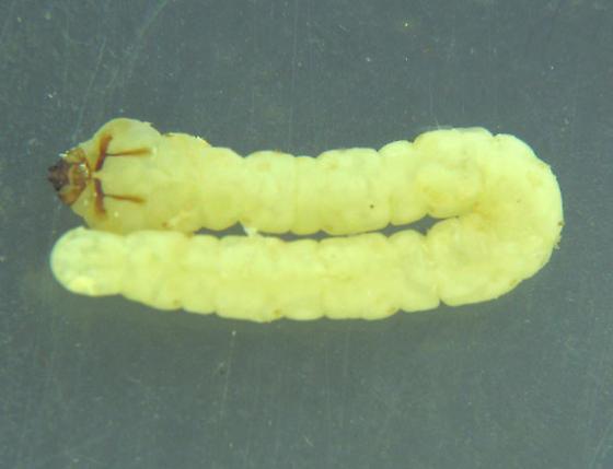 Cross-grain eucnemid larvae - Melasis pectinicornis