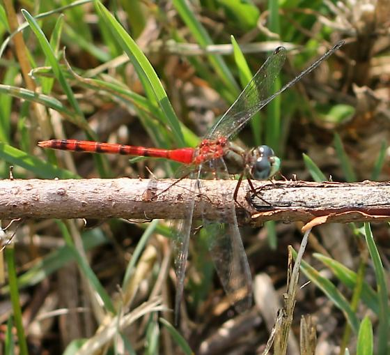 Red Dragonfly - Sympetrum ambiguum