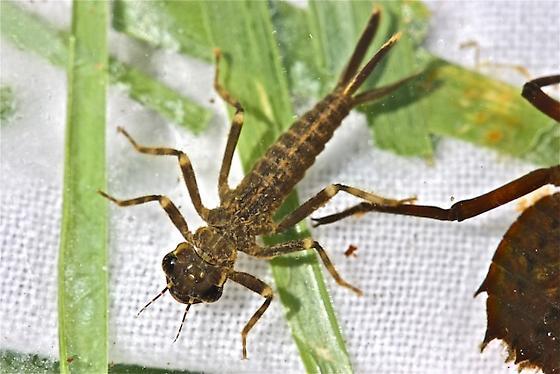 Coenagrionidae, genus Argia - Argia