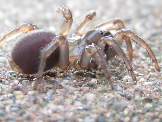 folding-door spider - Antrodiaetus pacificus - female