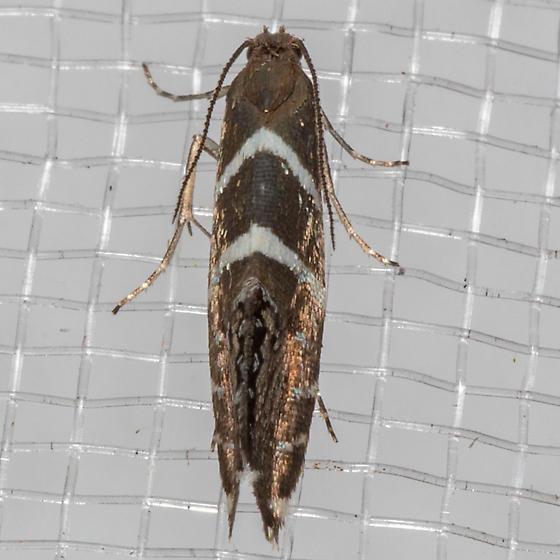 Glyphipterix bifasciata