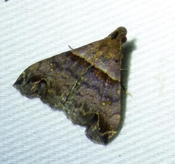 Lascoria ambigualis– Ambiguous Moth - Lascoria ambigualis