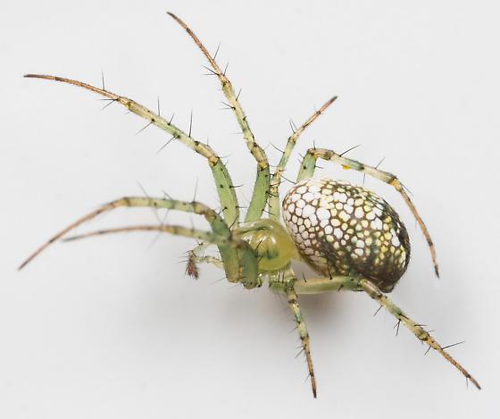 Mangora maculata - female