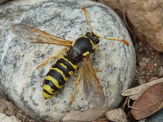 Male Vespoides? - Pseudomasaris vespoides - male
