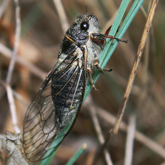 Unknown Winged Insect - Platypedia areolata