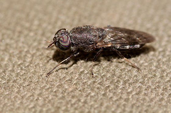 A fly landed on my pants. - Dieuryneura stigma - female