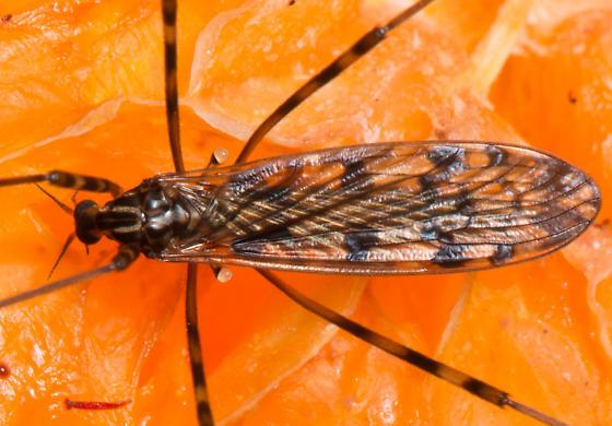 Tipula trivittata? - Limonia immatura