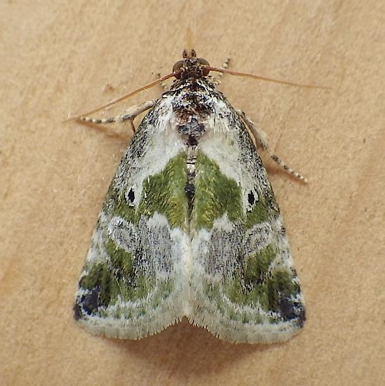 Noctuidae: Maliattha synochitis - Maliattha synochitis