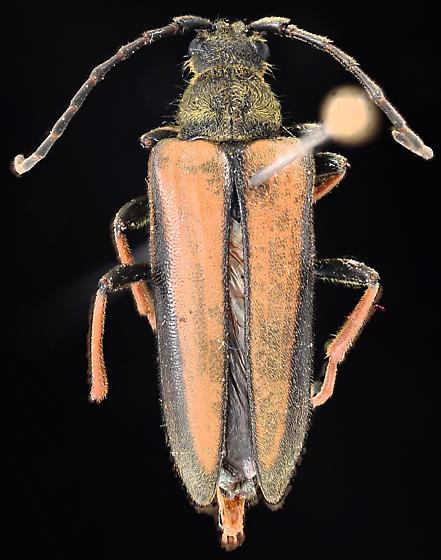 Cosmosalia nigrolineata, female of mating pair, collected and pinned - Lepturobosca nigrolineata - female