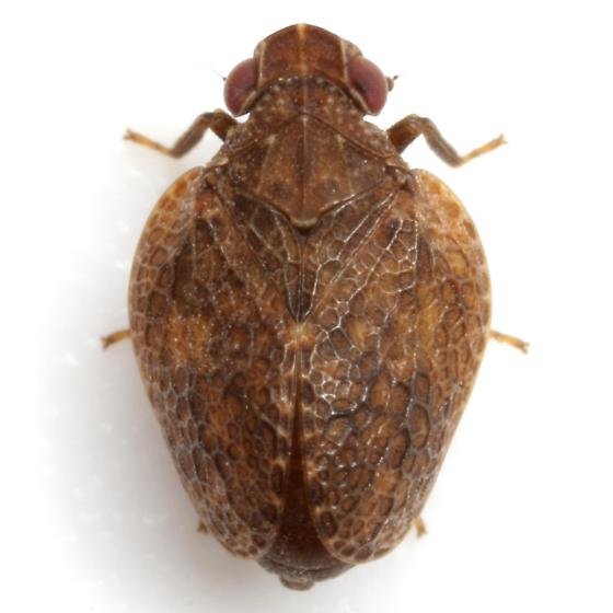Misodema reticulata Melichar - Misodema reticulata