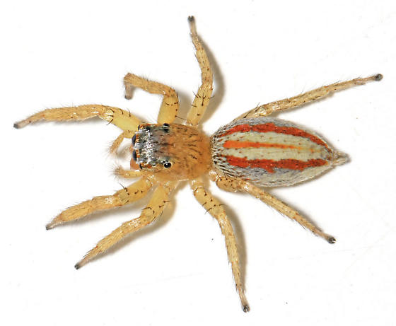 3-lined Maevia - dorsal - Maevia poultoni - female