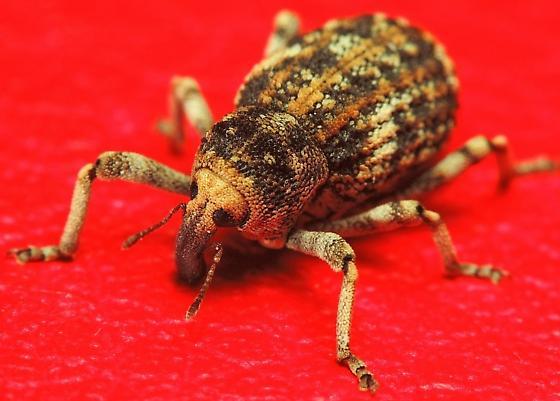 Handsome Weevil - Gerstaeckeria