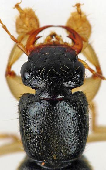 Rove Beetle - Pinophilus latipes