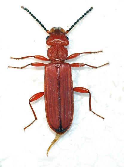 Flat Bark Beetle Cucujus clavipes - Cucujus clavipes - male