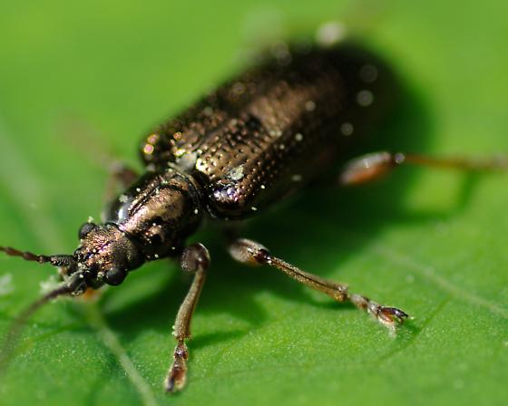 Beetle - Plateumaris