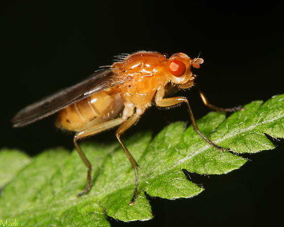 Fly - Dryomyza anilis