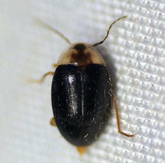 Scirtidae - Sacodes pulchella