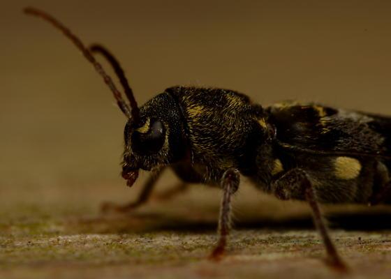 Black and Yellow Beetle
