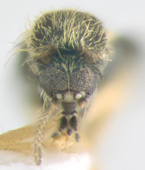 Ceratopogonidae, frontal - Forcipomyia