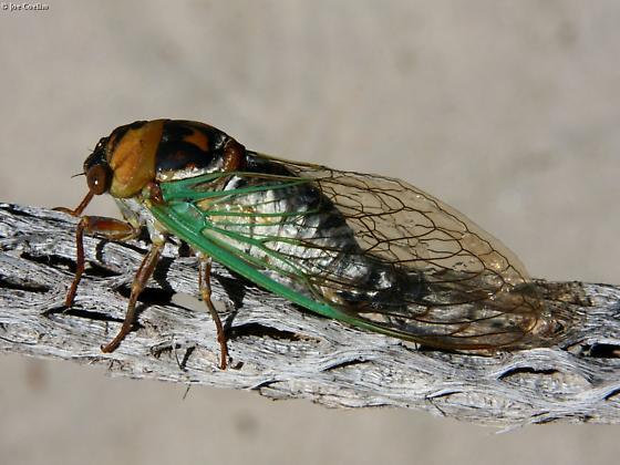 Big cicada on a stick. - Megatibicen cultriformis