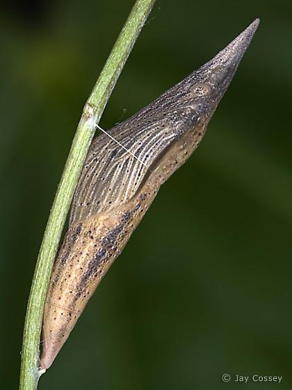 Olympia Marble Chrysalis - Euchloe olympia