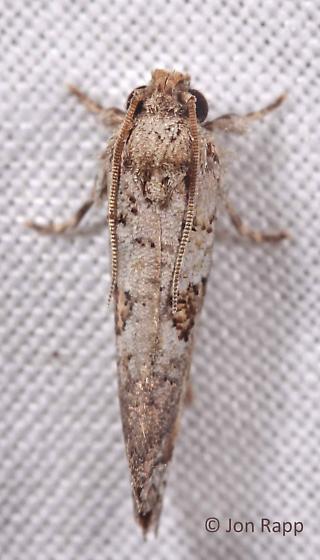 Piger Tubeworm Moth  - Acrolophus piger
