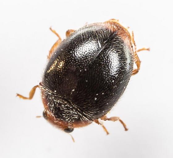 Lady Beetle ? - Scymnus apicanus - male
