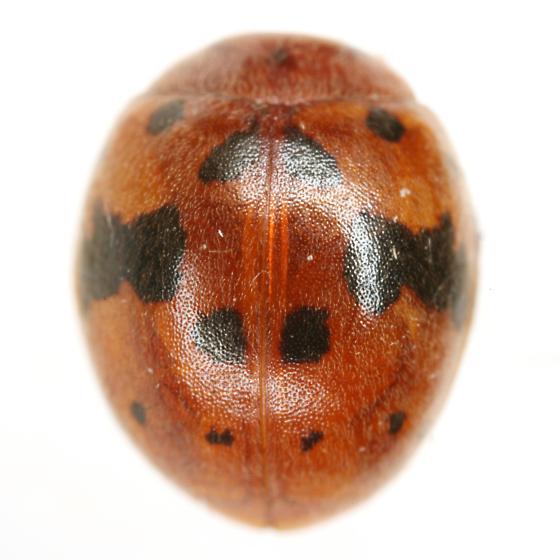 Subcoccinella vigintiquatuorpunctata (Linnaeus) - Subcoccinella vigintiquatuorpunctata