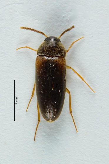 Tetratomidae  - Hallomenus scapularis