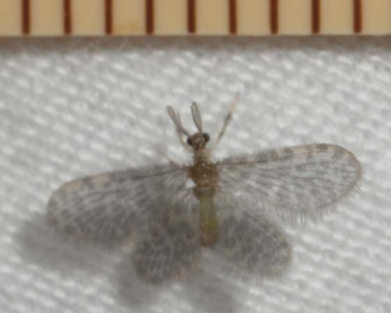 Nallachius americanus - male