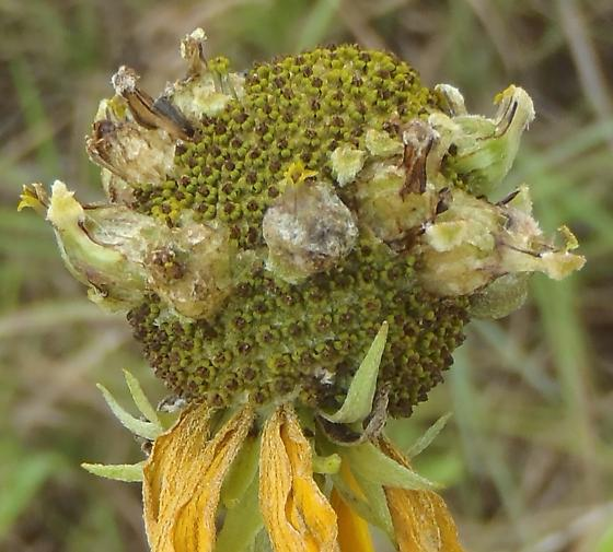 flower gall on Yellow Coneflower - Asphondylia ratibidae