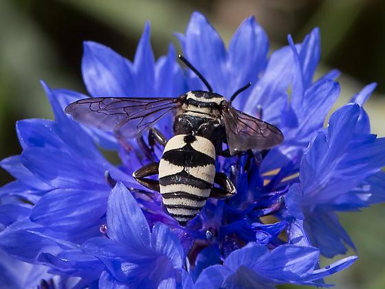 Cuckoo Bee with anchor pattern- Triepeolus Remigatus? - Triepeolus remigatus - male