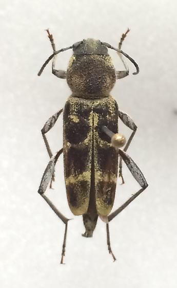 longhorn beetle - Xylotrechus
