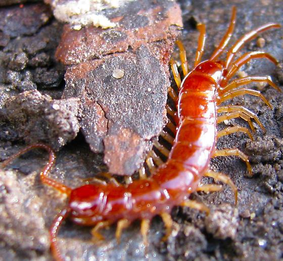Garden centipede? - Lithobius forficatus