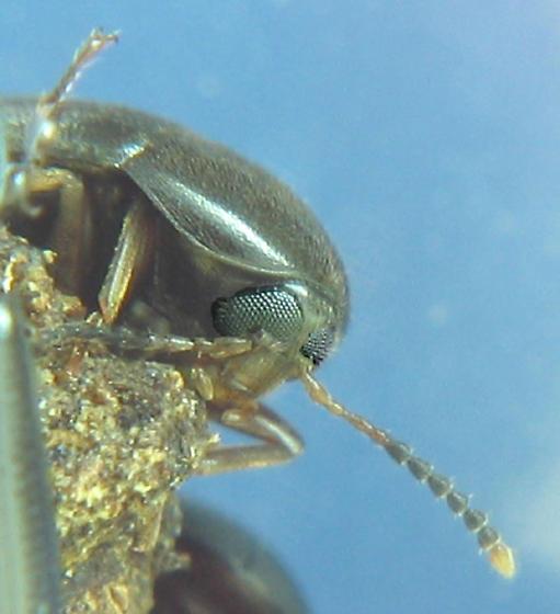 underbark - Eustrophopsis bicolor