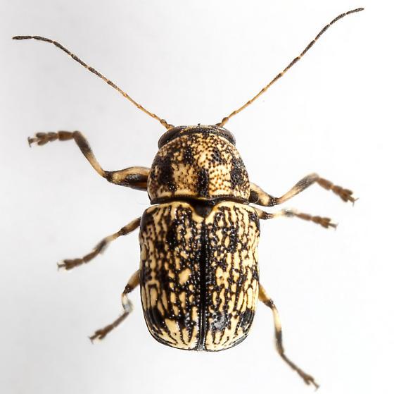 Pachybrachis  - Pachybrachis cephalicus - male