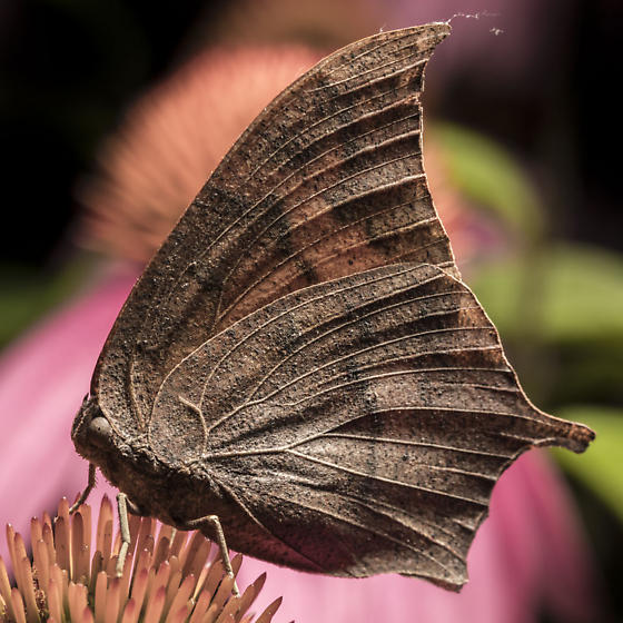 Goatweed Leafwing Butterfly - Anaea andria