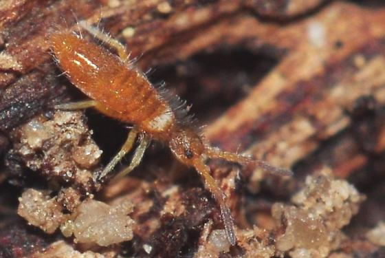Immature male Entomobrya atrocincta - Entomobrya atrocincta - male