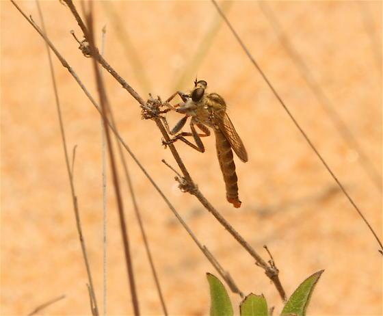 Dicropaltum rubicundus - male