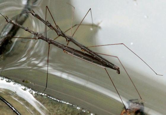 Water Walking Stick - Hydrometra - male - female