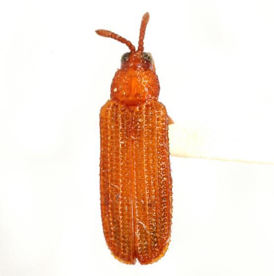 Heptispa brevicornis Riley - Heptispa brevicornis
