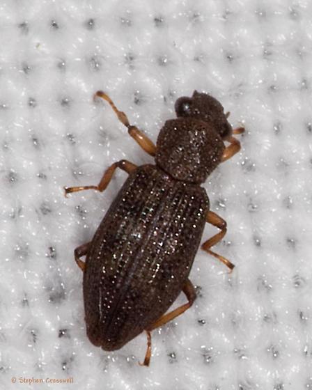 Gathering 2012, Beetle at lights - Hydrochus