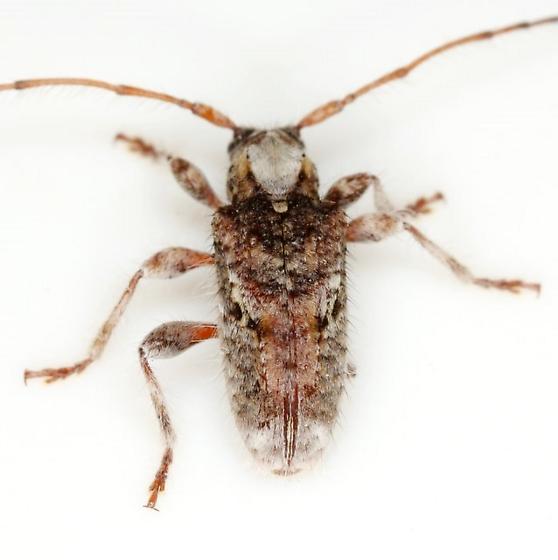 Callipogonius cornutus (Linsley) - Callipogonius cornutus