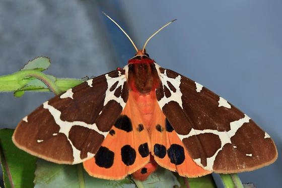 Great Tiger Moth - Arctia caja