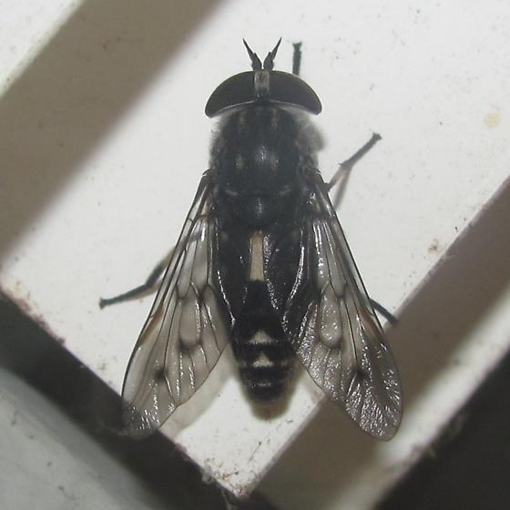 Poeciloderas quadripunctatus